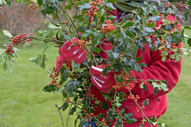 Collecting holly covered with red berries
