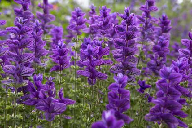 Best plants with purple flowers gardenersworld salvia viridis 2 mightylinksfo