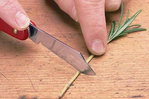 trimming-rosemary-stem-2