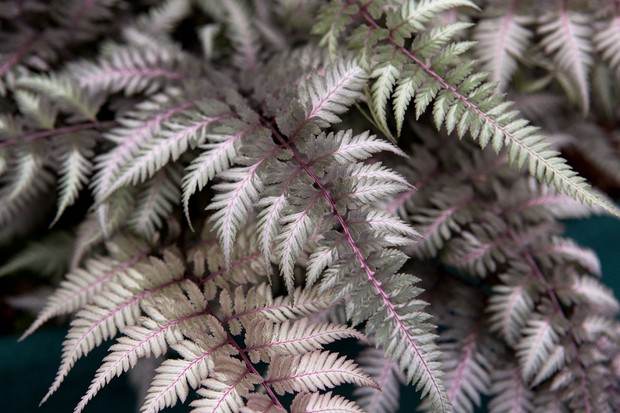 Delicate, silver and burgundy leaves of the painted Japanese fern