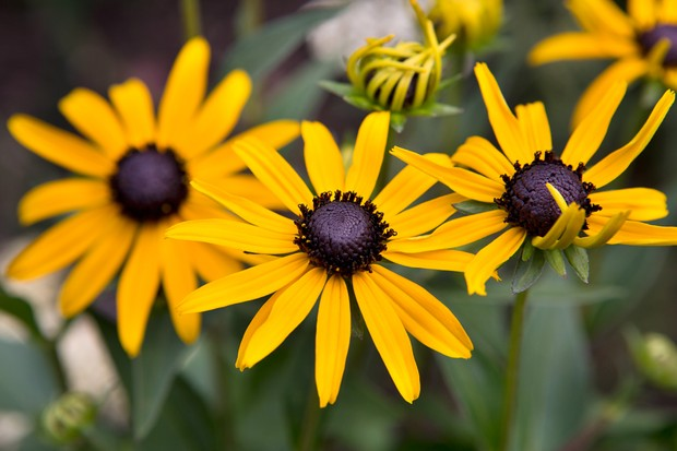 Orange-gold blooms of <em>Rudbeckia</em> 'Little Gold Star'