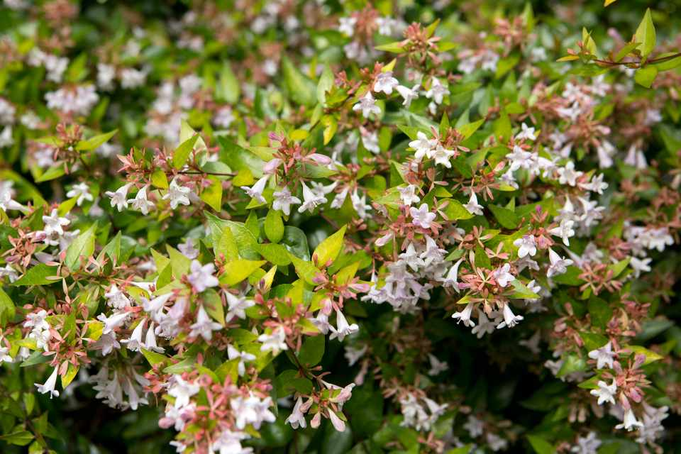 Golden leaves and small pink flowers of Abelia Grandiflora