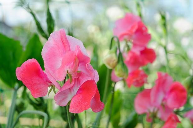 Pink blooms of Lathyrus odoratus 'Geranium Pink'