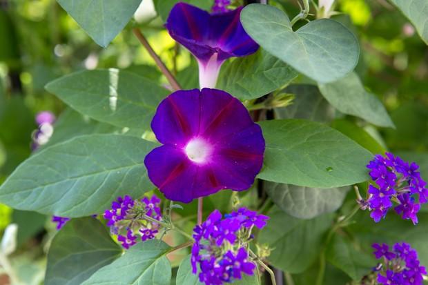 ipomoea-purpurea-star-of-yalta-2