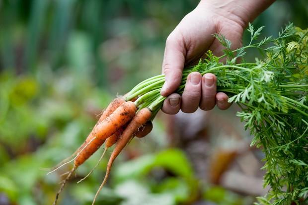 harvesting-baby-carrots-4