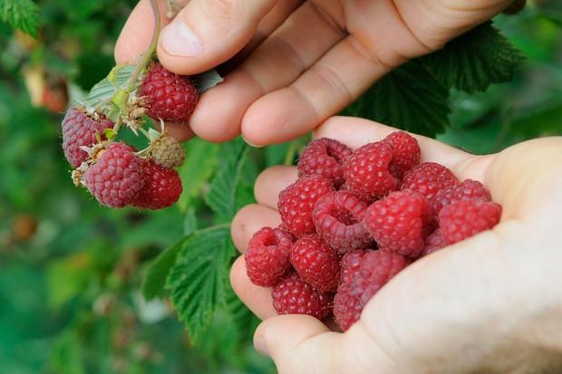 Picking raspberries