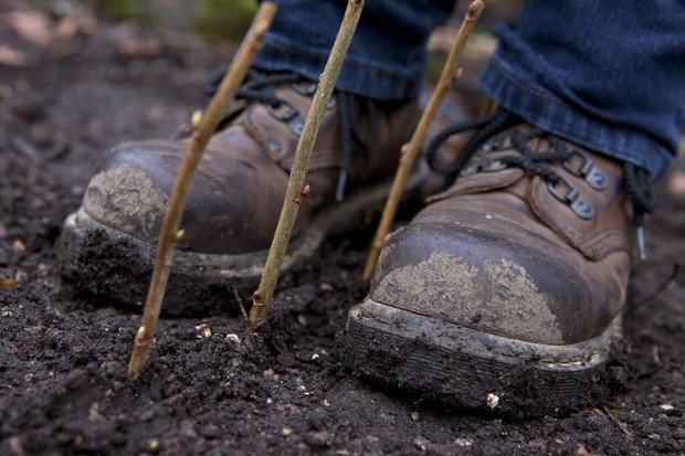 Taking blackcurrant cuttings - firming soil around the cuttings