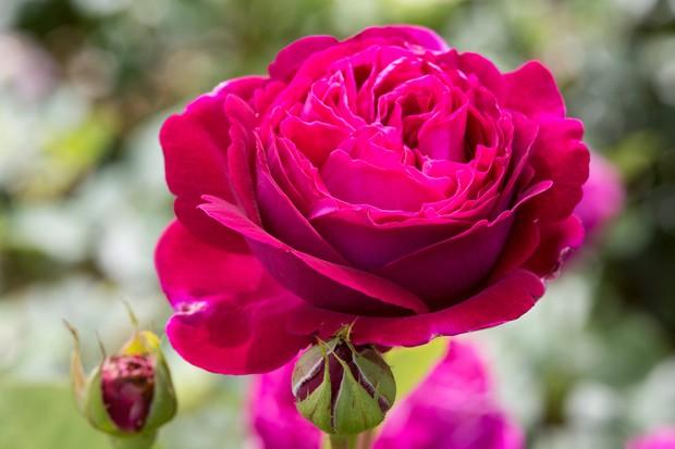 rosa-sophy-10