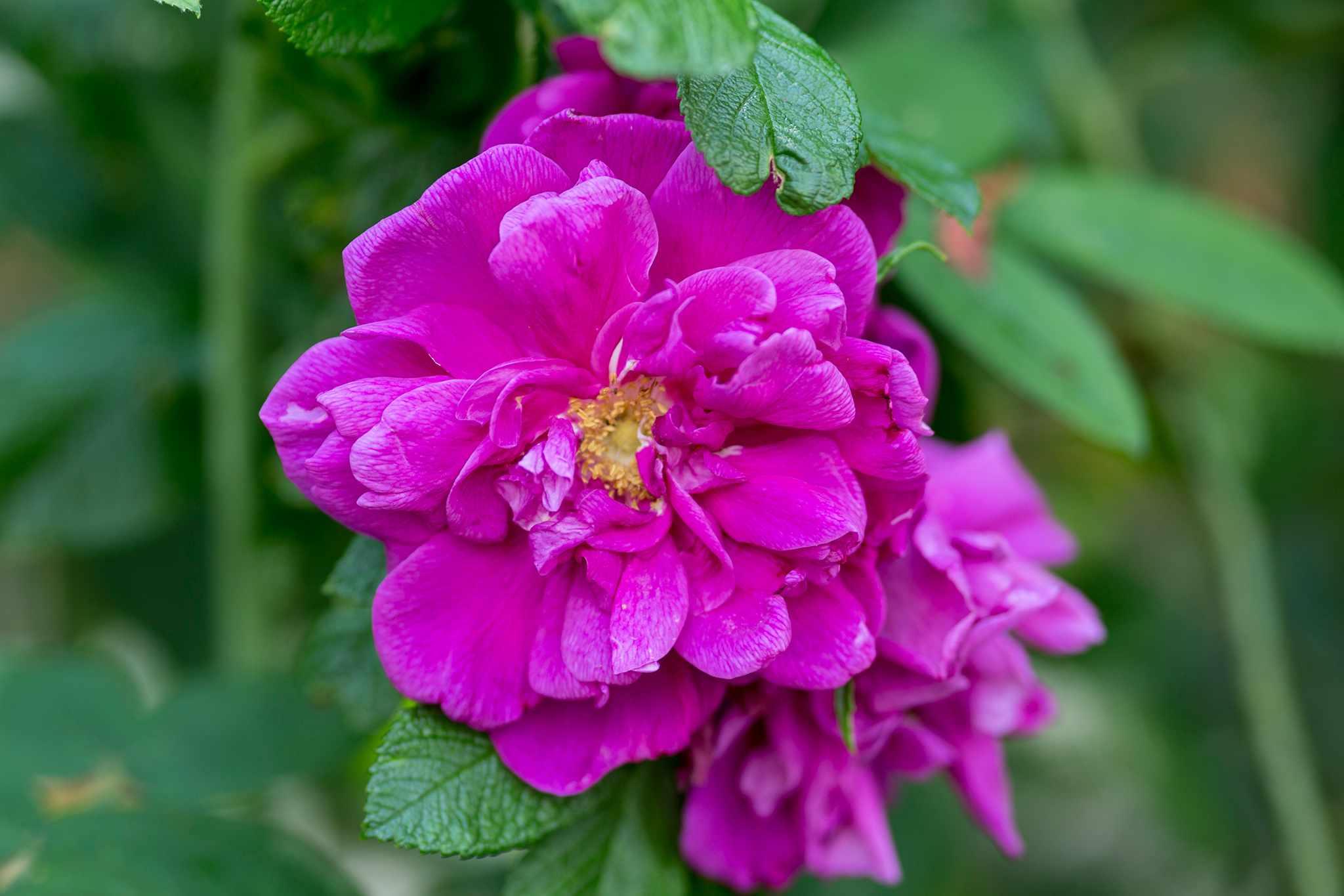 Pink flower Rosa 'Roseraie de l'Hay'