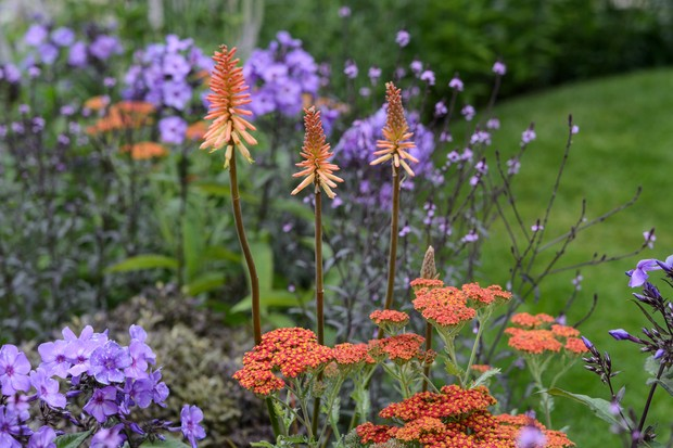 Red-hot pokers in a mixed border of a variety of red and purple flowers
