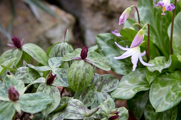 trillium-and-dogs-tooth-violet-2