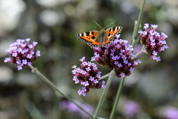 A butterfly drinking from mauve flowers