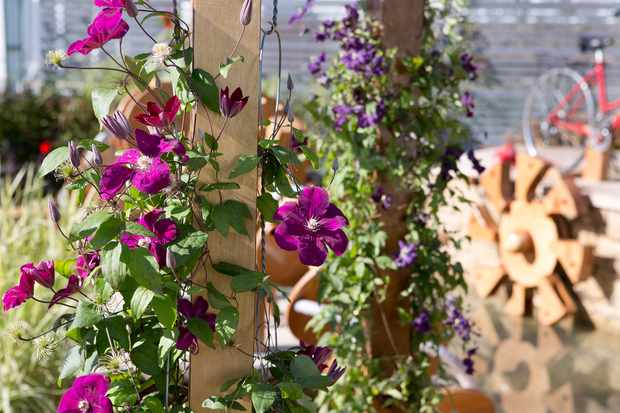 purple-clematis-growing-up-a-pergola-2