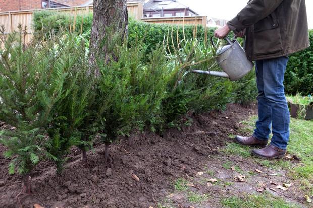 watering-in-hedging-plants-2