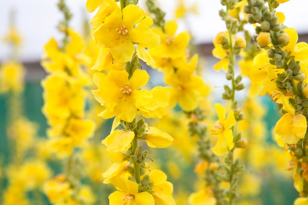 Tall spears of yellow mullein flowers