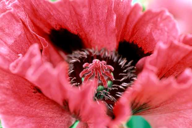How to propagate oriental poppies