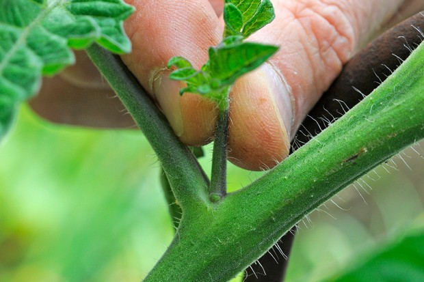 Pinching out a tomato plant sideshoot
