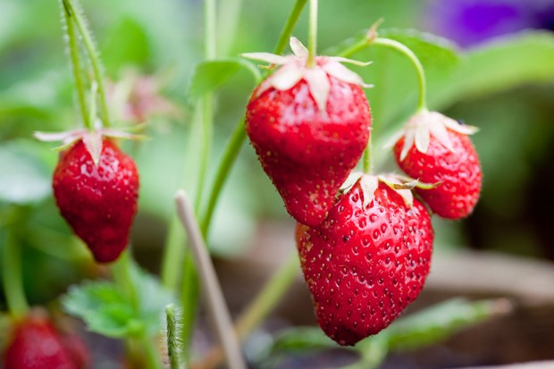 fruits-of-everbearing-strawberry-plant-2