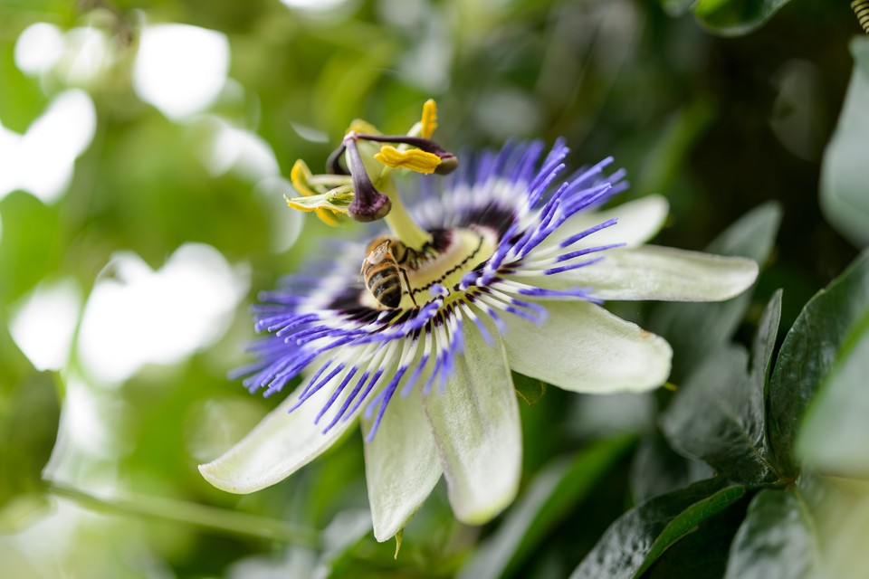 How To Grow Passion Flowers Bbc Gardeners World Magazine