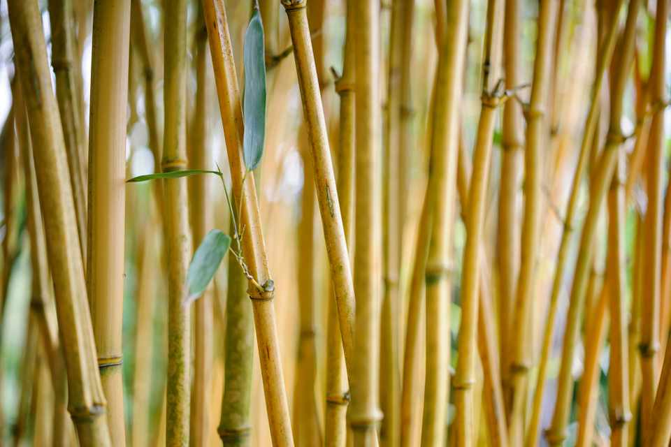 A screen of bamboo stems