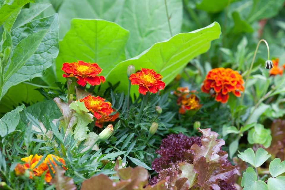 Orange marigolds in flower beside lettuce