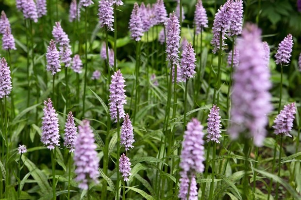 common-spotted-orchid-dactylorhiza-fuchsii-4