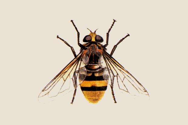 hornet-mimic-hoverfly-volucella-zonaria-2