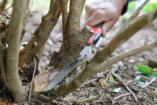 Removing a branch of a shrub at its base