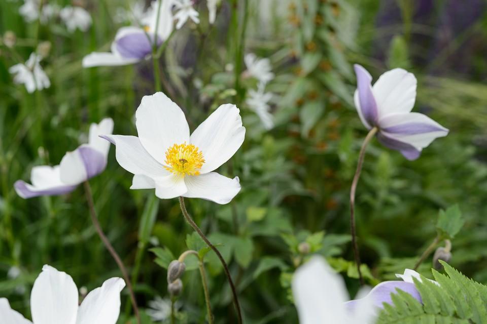 How To Grow Japanese Anemones Bbc Gardeners World Magazine