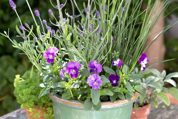 Purple pansies planted with lavendar