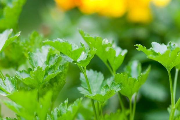 coriander-foliage