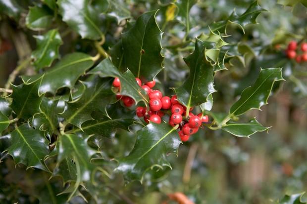 ilex-aquifolium-8