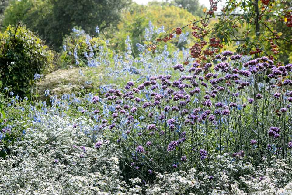 Purple verbena flowers planted with white michaelmas daisies