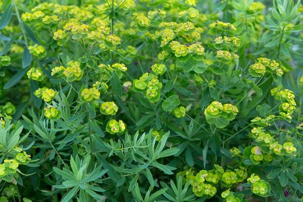 Lime-green euphorbias