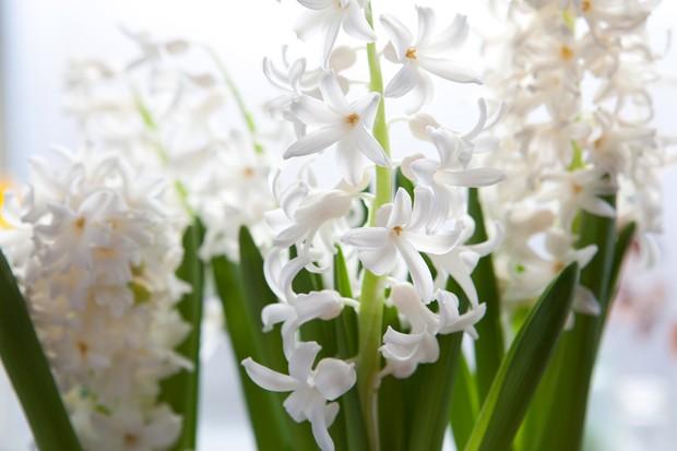 hyacinthus-orientalis-carnegie-3