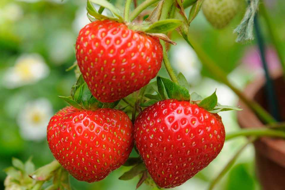 Propagate strawberries from runners
