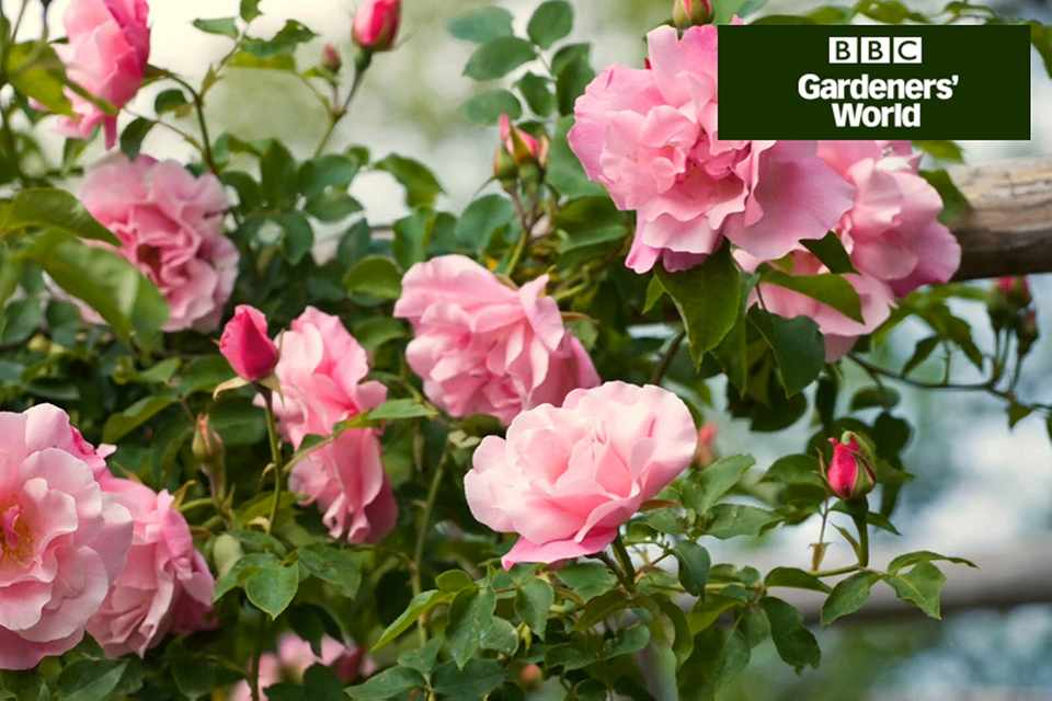 How to train a climbing rose