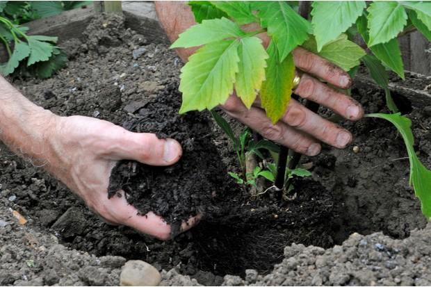 plant-your-dahlias-deeply-3