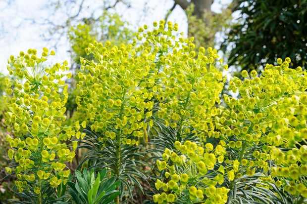 euphorbia-characias-subsp-wulfennii-12