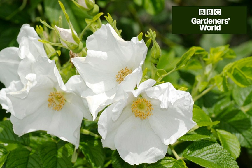 How to plant a bare-root rose in autumn video