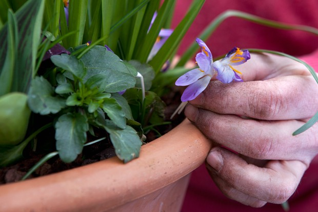 adding-crocuses-to-the-outside-of-the-pot-2