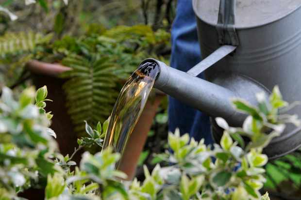 Watering with comfrey feed