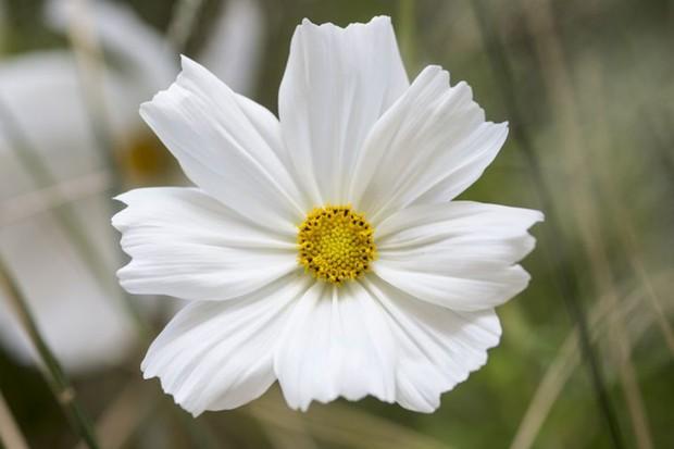 Cosmos: large white bloom of 'Sonata White'