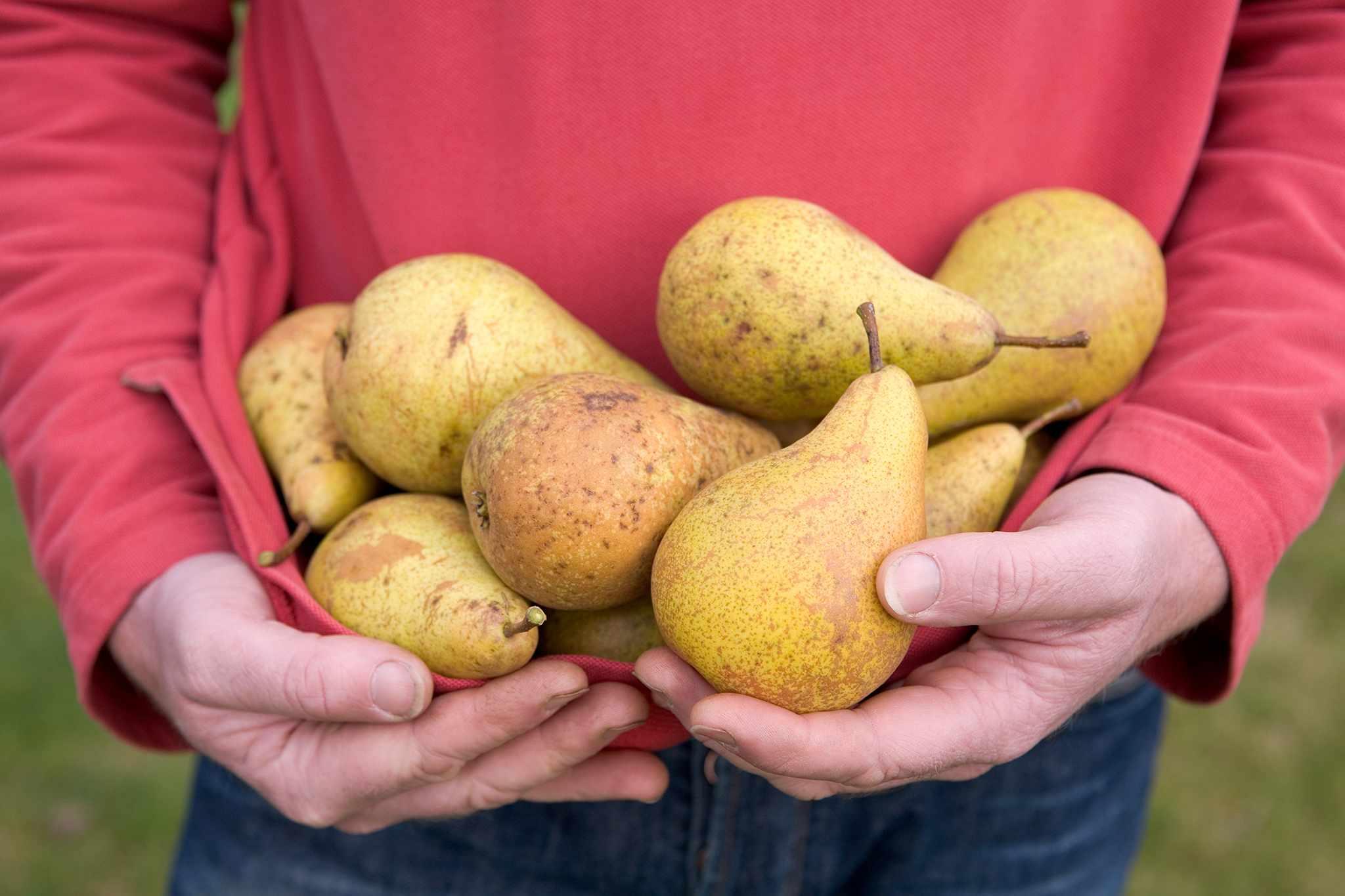 Pears – Grow Guide