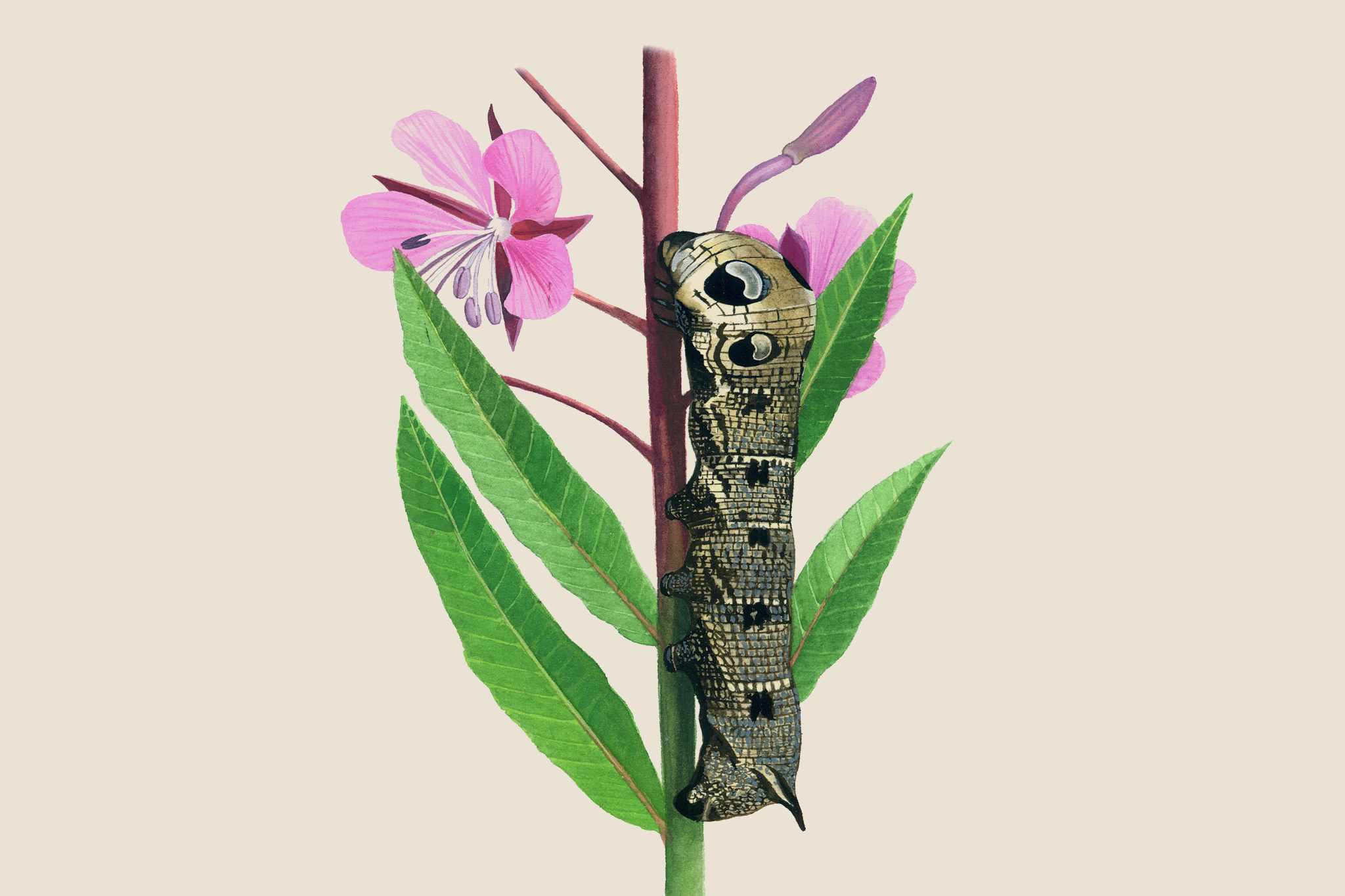 Garden Wildlife Identifier: Caterpillars