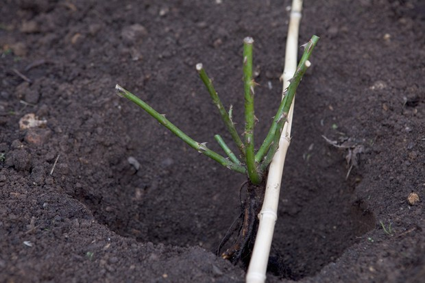 planting-a-bare-root-rose-4