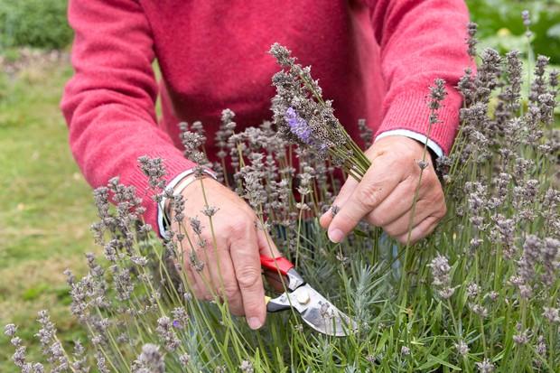 Deadheading lavender