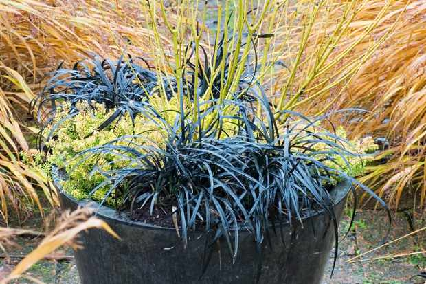 Erica, cornus and ophiopogon pot display