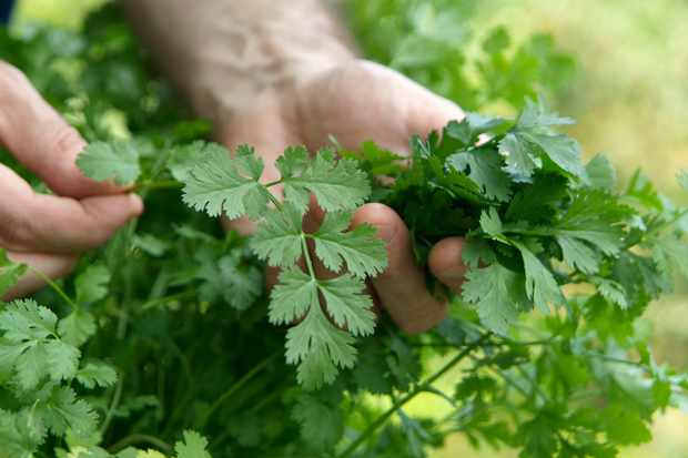 How to Grow Annual Herbs