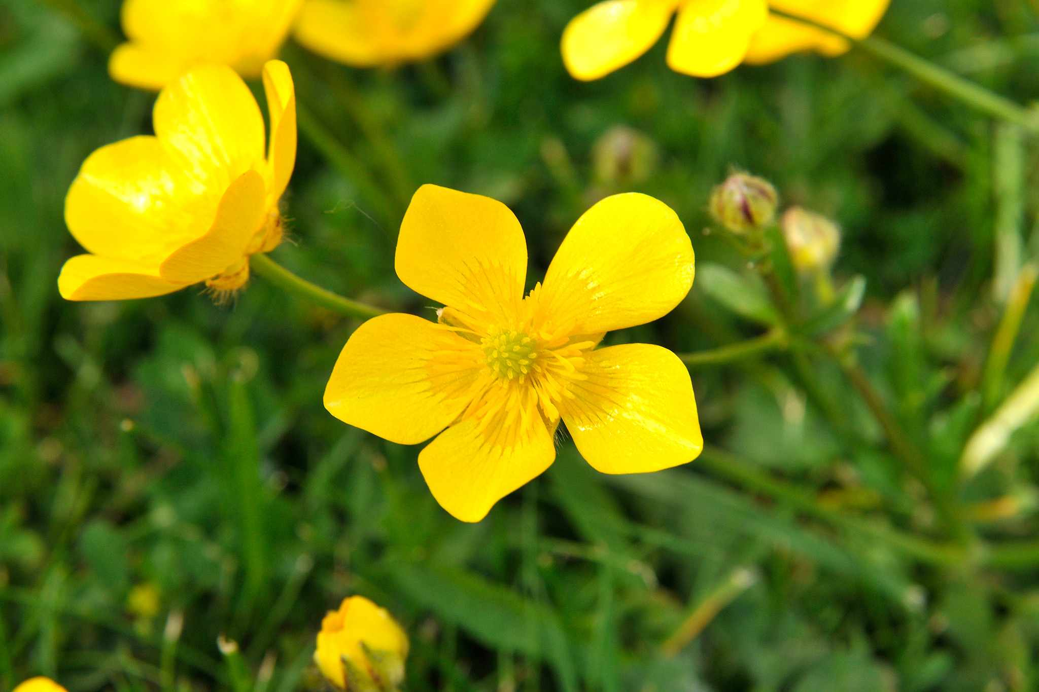 Glossy yellow flowers of creeping buttercup